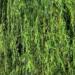柳のイメージ