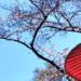 かさと桜の画像